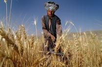 Bauer auf seinem Weizenfeld in Lahyawa.