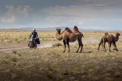 Mischa passiert ein paar Kamele