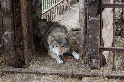 Gefangener Wolf in der Turbase